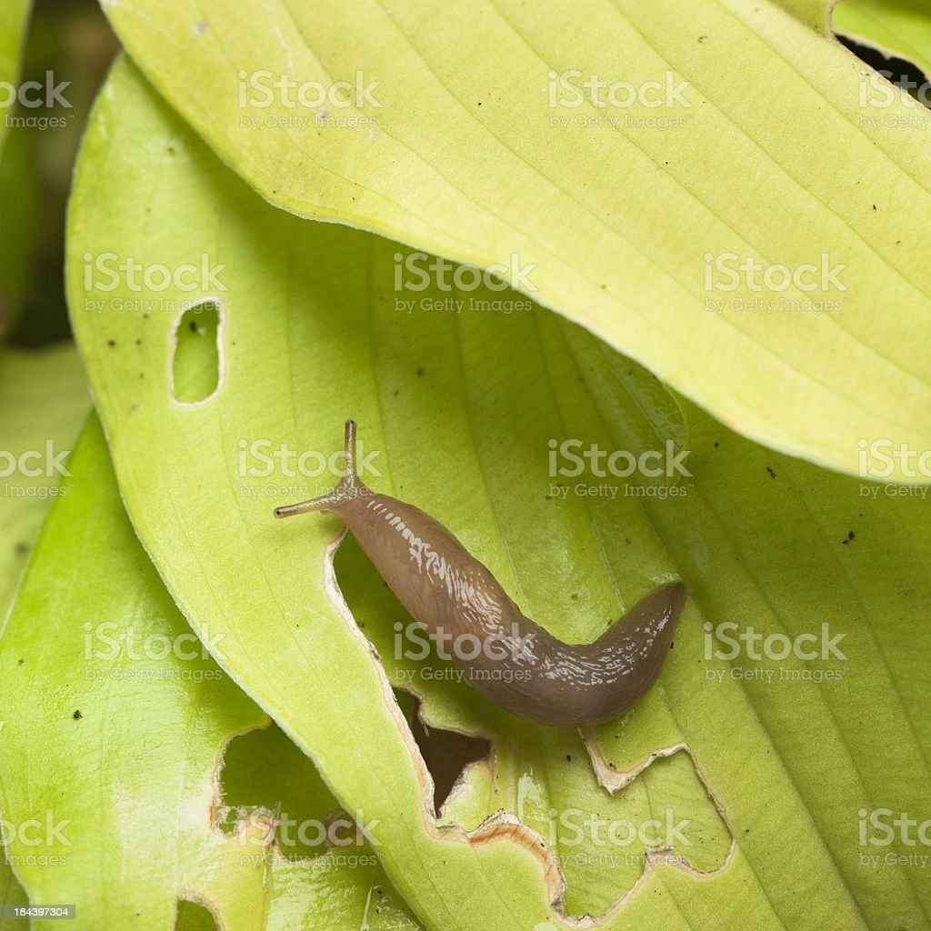 Slug on damaged hosta leaf stock photo