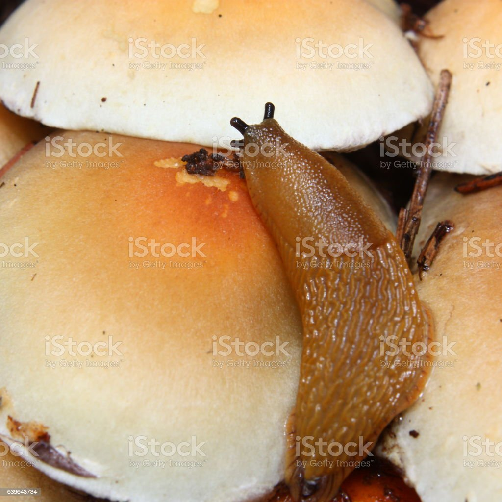 Slug on sulfur tuft mushroom stock photo