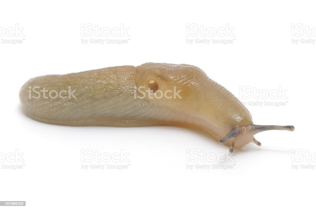 Slug royalty-free stock photo