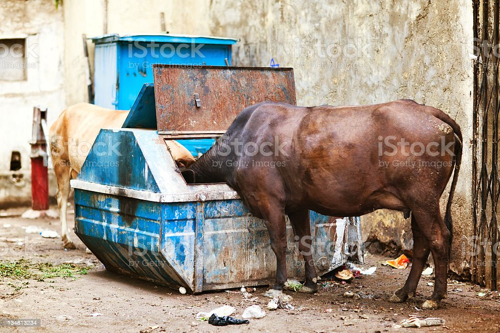 Slum Cows stock photo