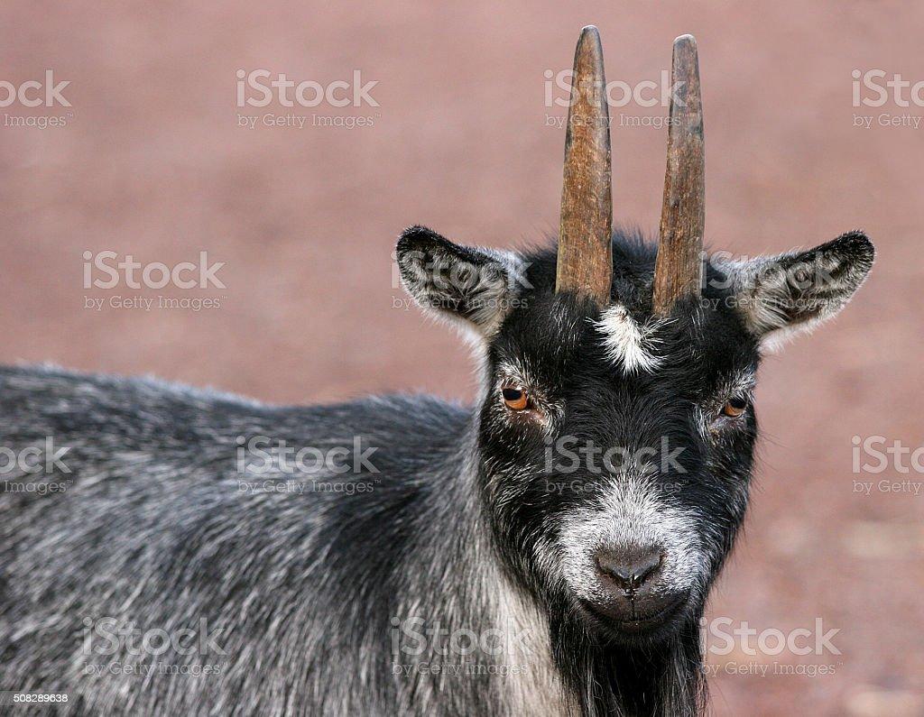 Smal cute goat stock photo