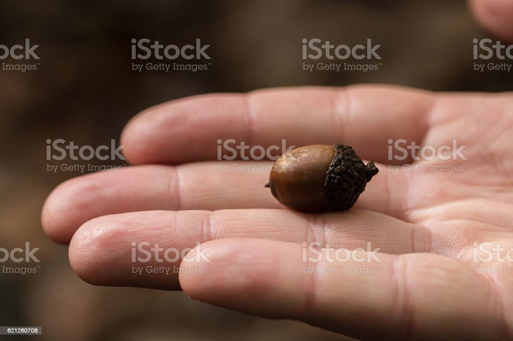 Small acorn, closeup on a hand stock photo
