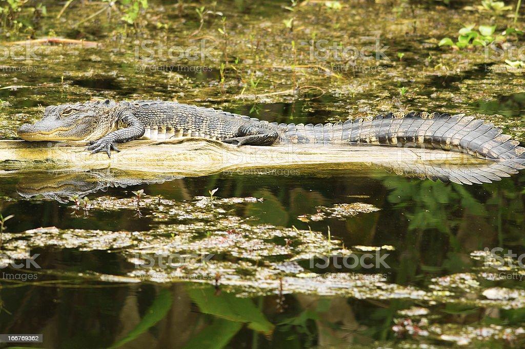 Small American Alligator royalty-free stock photo