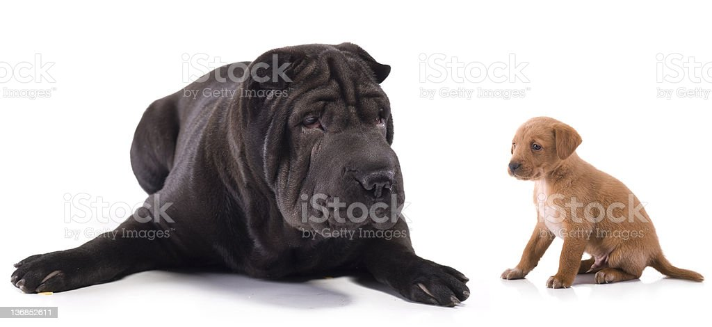 Small and big cute puppies royalty-free stock photo