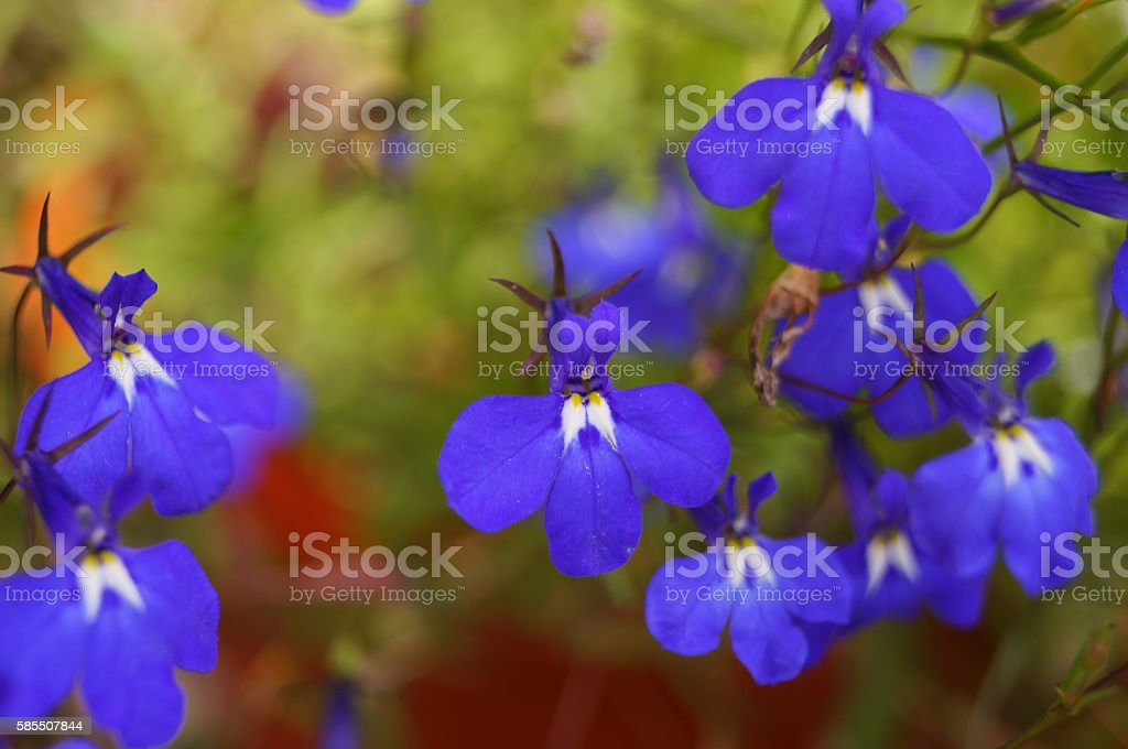 small and colorful flowers lobelia incredible beauty stock photo