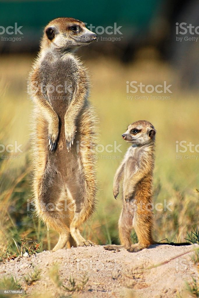 Small and cute Meerkat Family in the savannah of Botswana stock photo