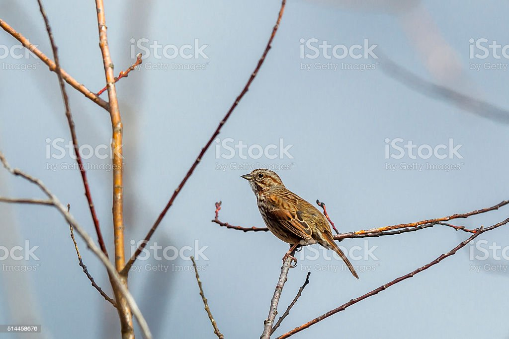 Small and cute tree sparrow. stock photo