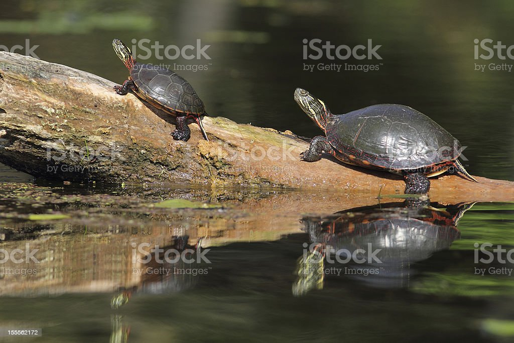 Small and Large Painted Turtles Basking on a Log stock photo