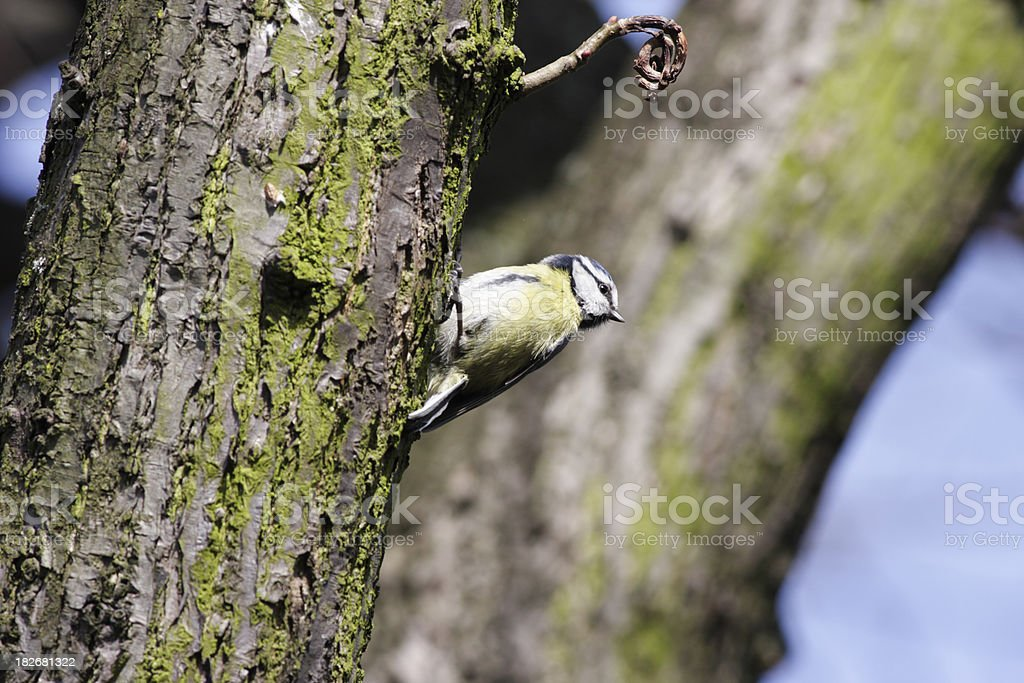 Blue tit Parus caeruleus on tree trunk royalty-free stock photo