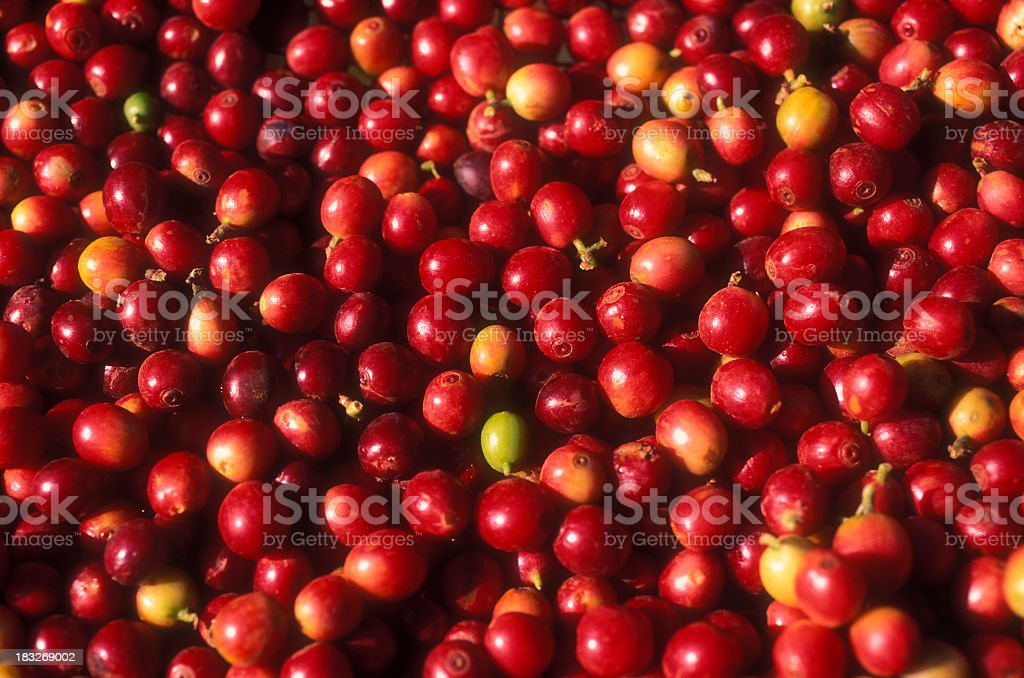 Small and red coffee tree fruits stock photo