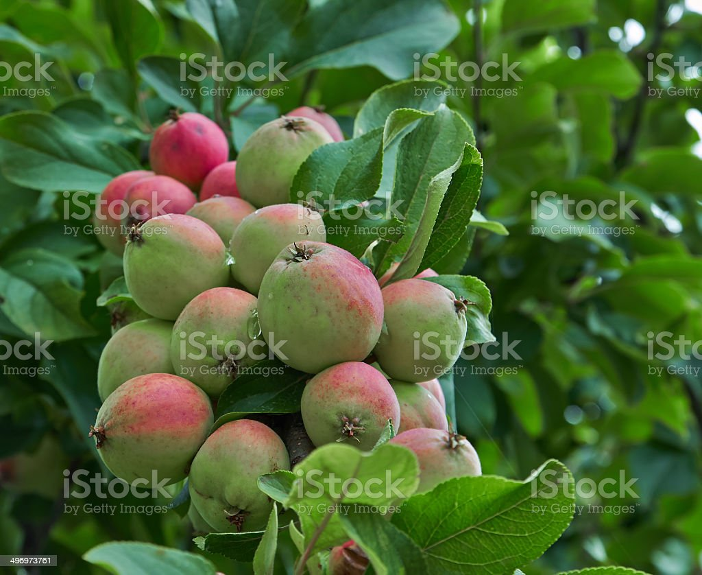 small apples royalty-free stock photo