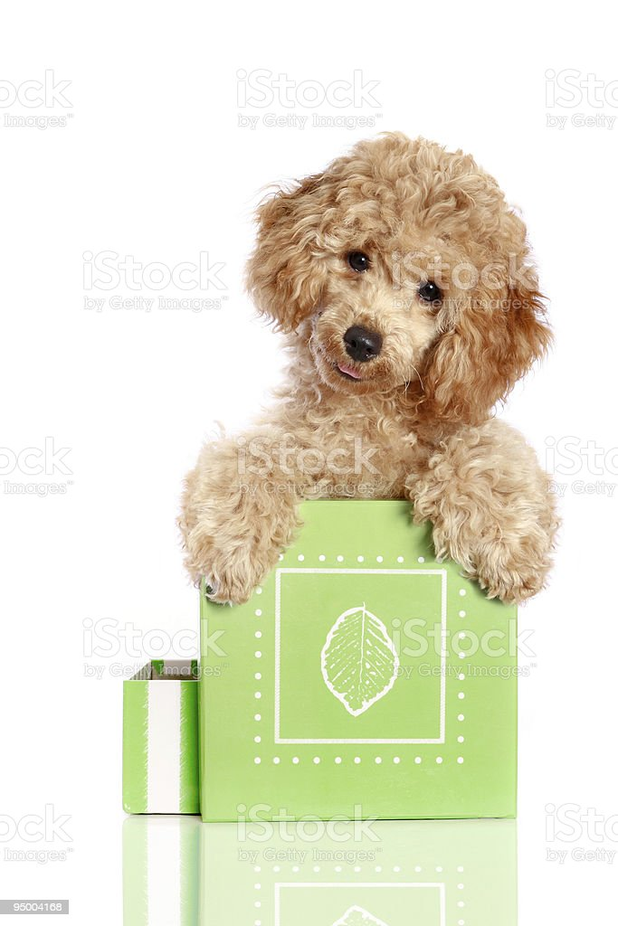 Small apricot poodle puppy is in a gift box royalty-free stock photo