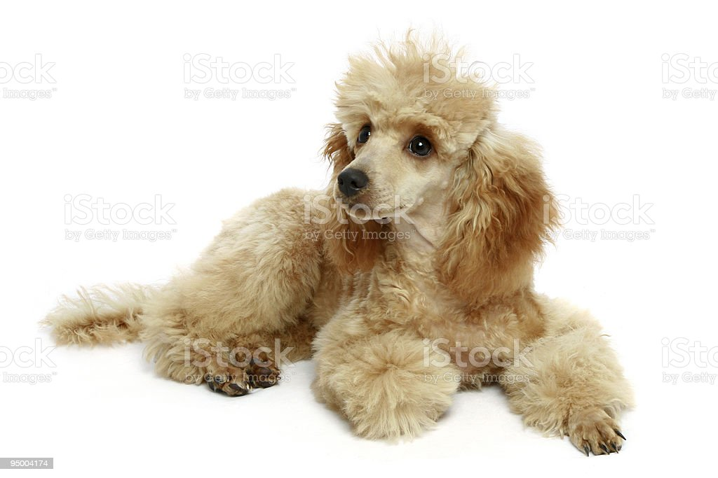 Small apricot poodle puppy royalty-free stock photo
