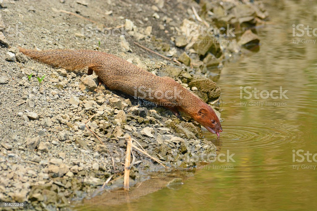 Small asian mongoose stock photo
