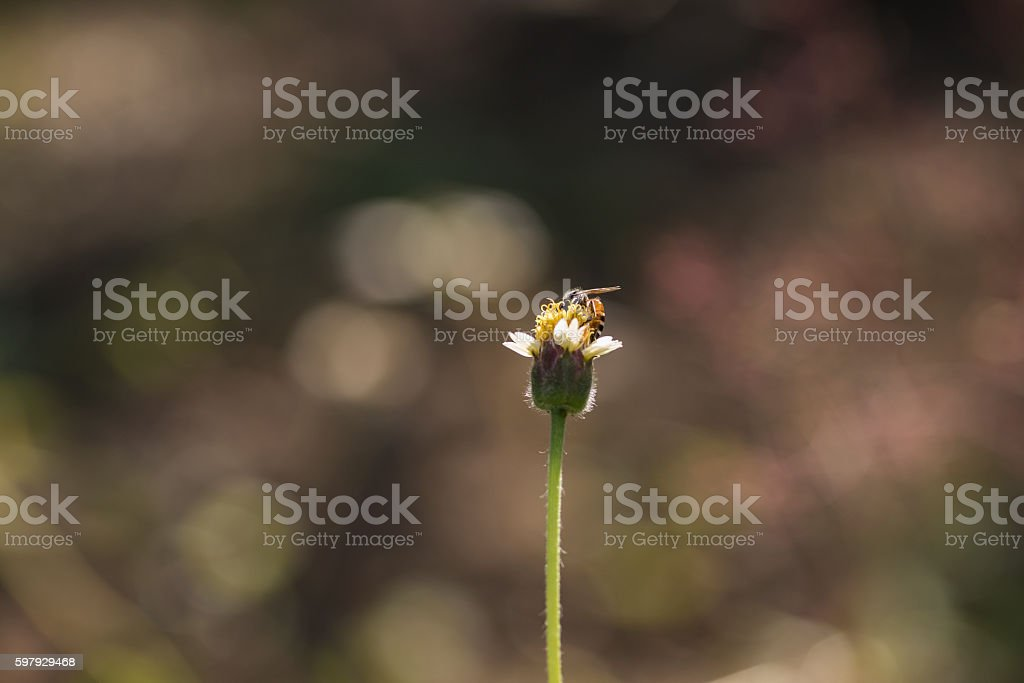 Small Asian wasp feeding on native plant showing body hair stock photo