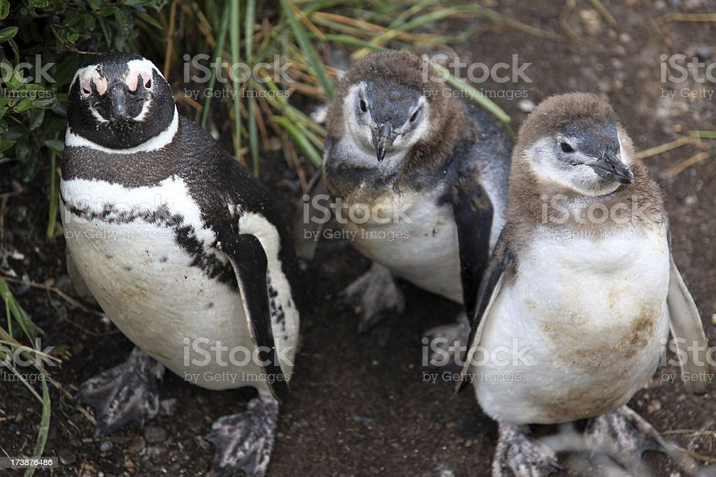 Small Baby Penguins, Patagonia, Argentina royalty-free stock photo