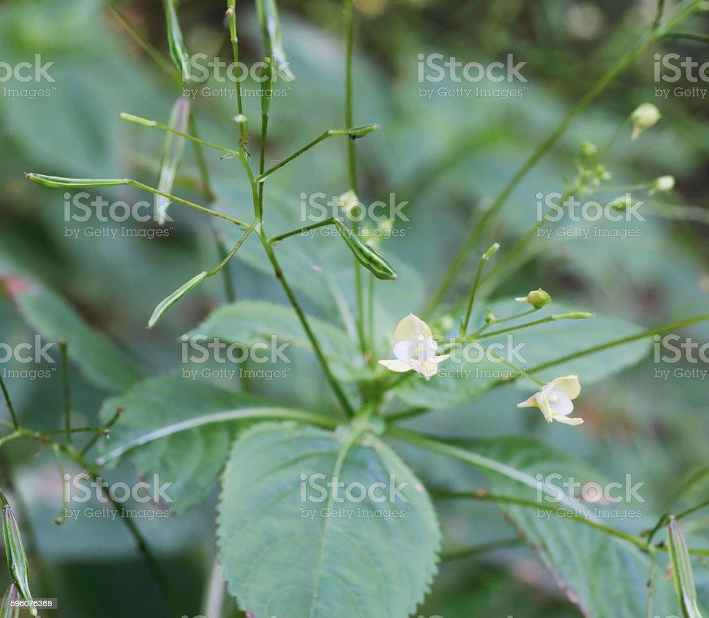 Small balsam (Impatiens parviflora) stock photo