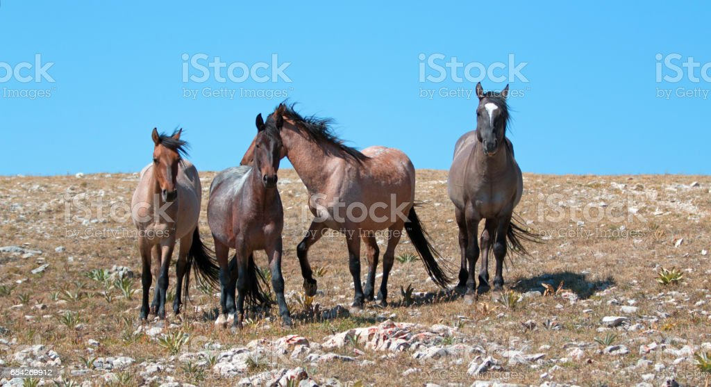 Small Band of Mustangs on Sykes Ridge in the Pryor Mountains Wild Horse Range in Montana USA stock photo