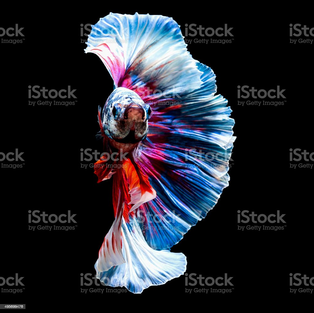 small beautiful siam betta fish stock photo