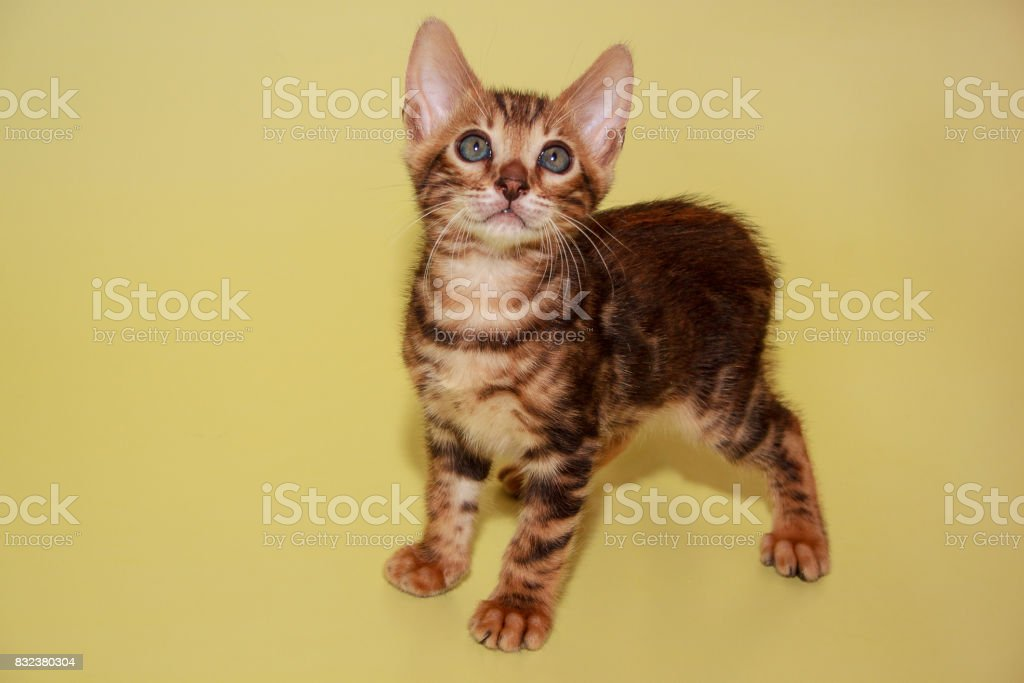 Small bengal kitten looking at the camera. stock photo