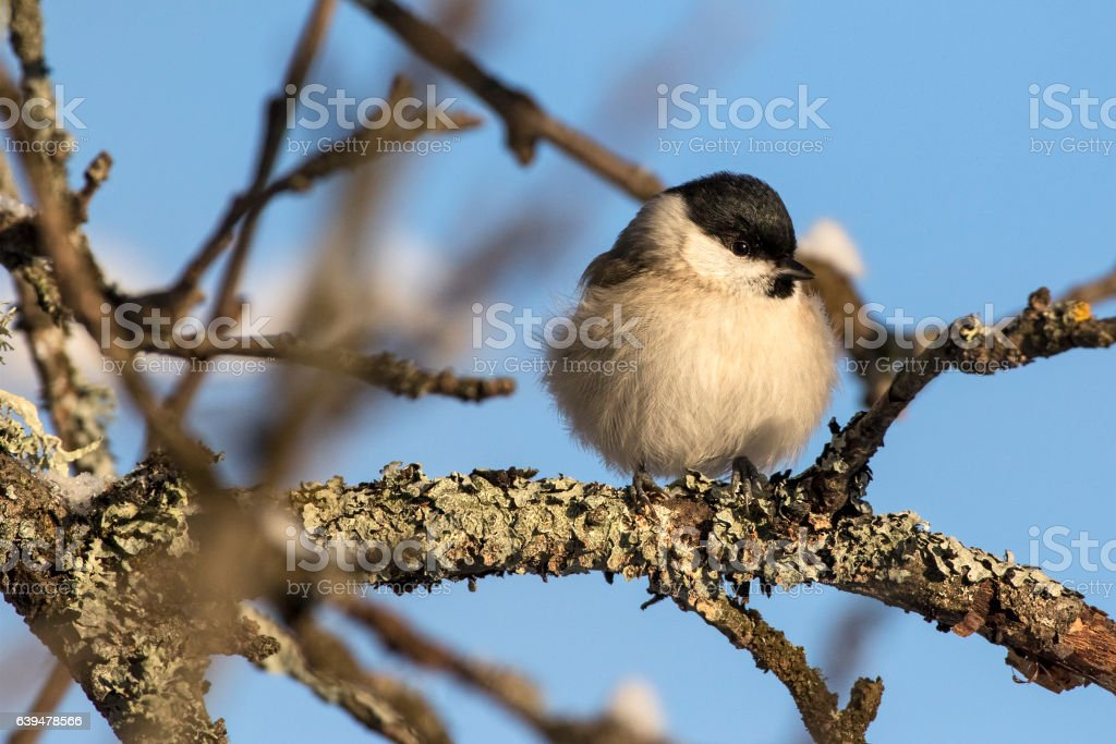 Small bird - Marsh Tit (Poecile (sin. Parus) palustris). stock photo