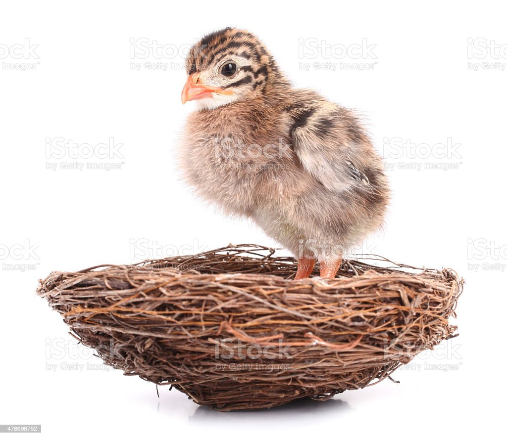 Small bird nestling waiting in nest stock photo