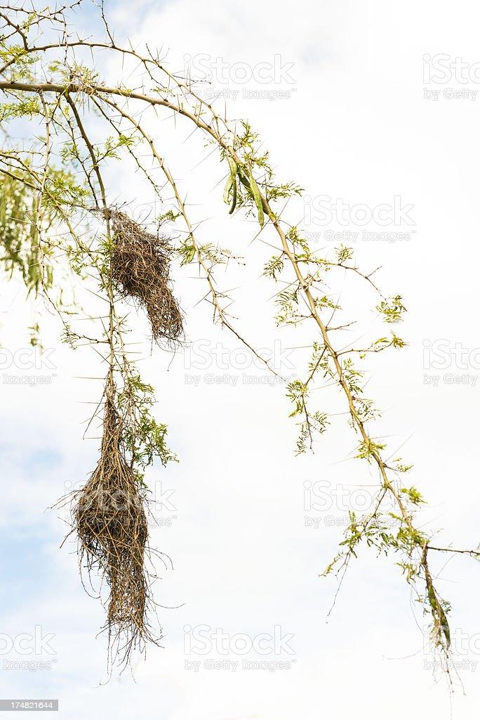 Small bird nests royalty-free stock photo