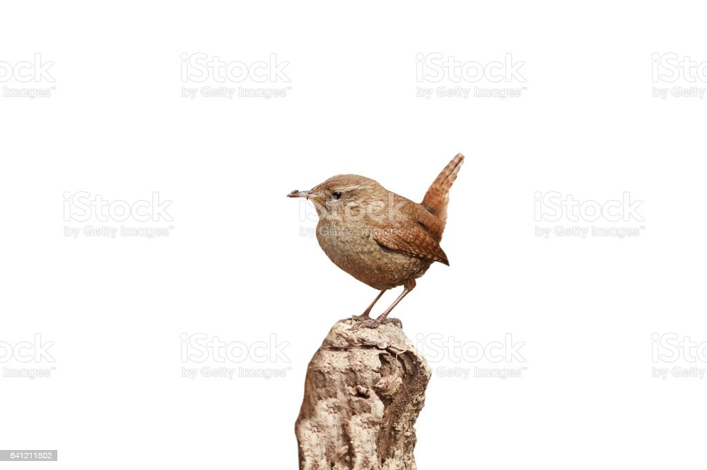 small bird the Wren is sitting on the root of the tree in the spring stock photo