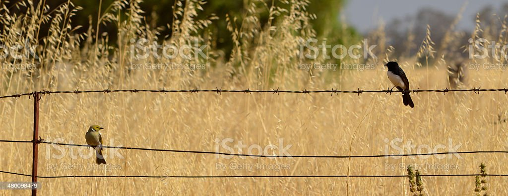 Small birds on barb wire fence royalty-free stock photo