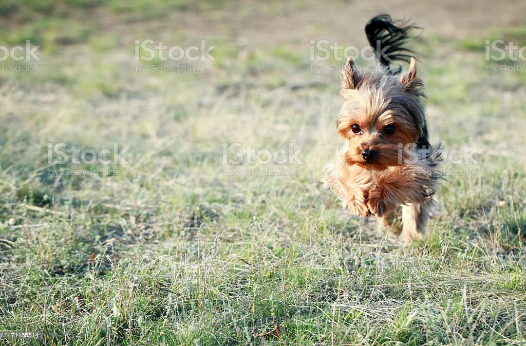 Small black and brown dog running through grass stock photo