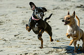 Small Black and Small Brown Dogs Playing on Sandy Beach