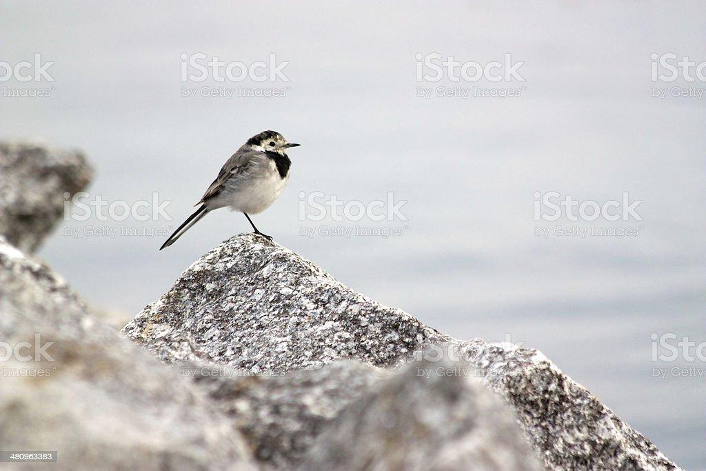 Small black and white bird sitting on stone stock photo