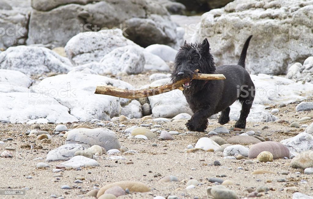 Small black dog with large stick on beach stock photo