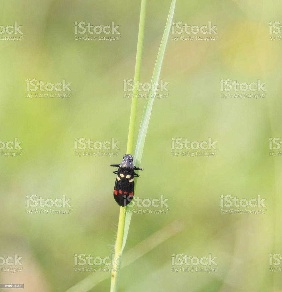 Small black insect on grass stem royalty-free stock photo