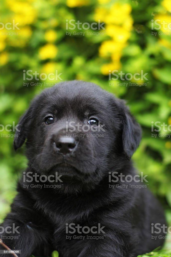 small black Labrador puppy stock photo