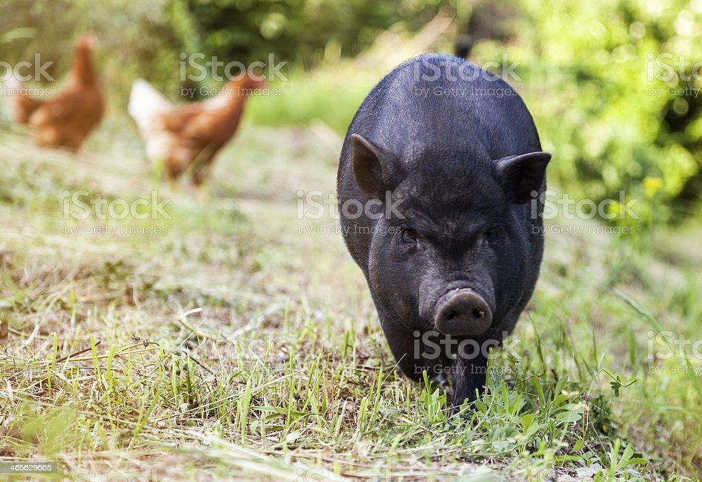 Small black pig on a farm royalty-free stock photo