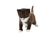 small black-white kitten