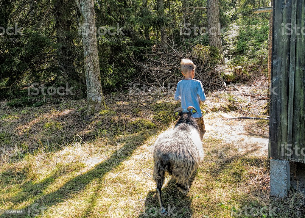 Small blond boy followed by sheep in the forest, Sweden. stock photo