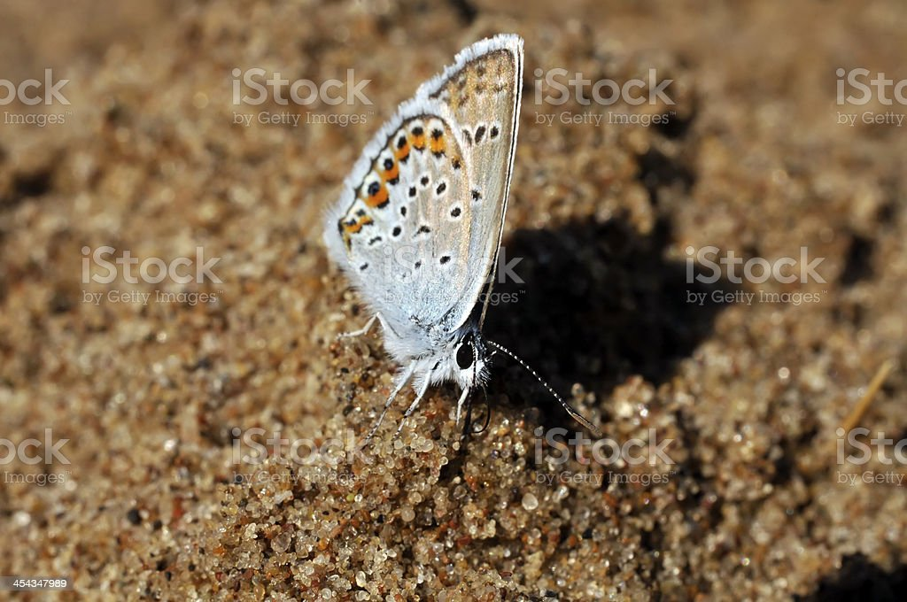 small blue butterfly(Lycaenidae) royalty-free stock photo