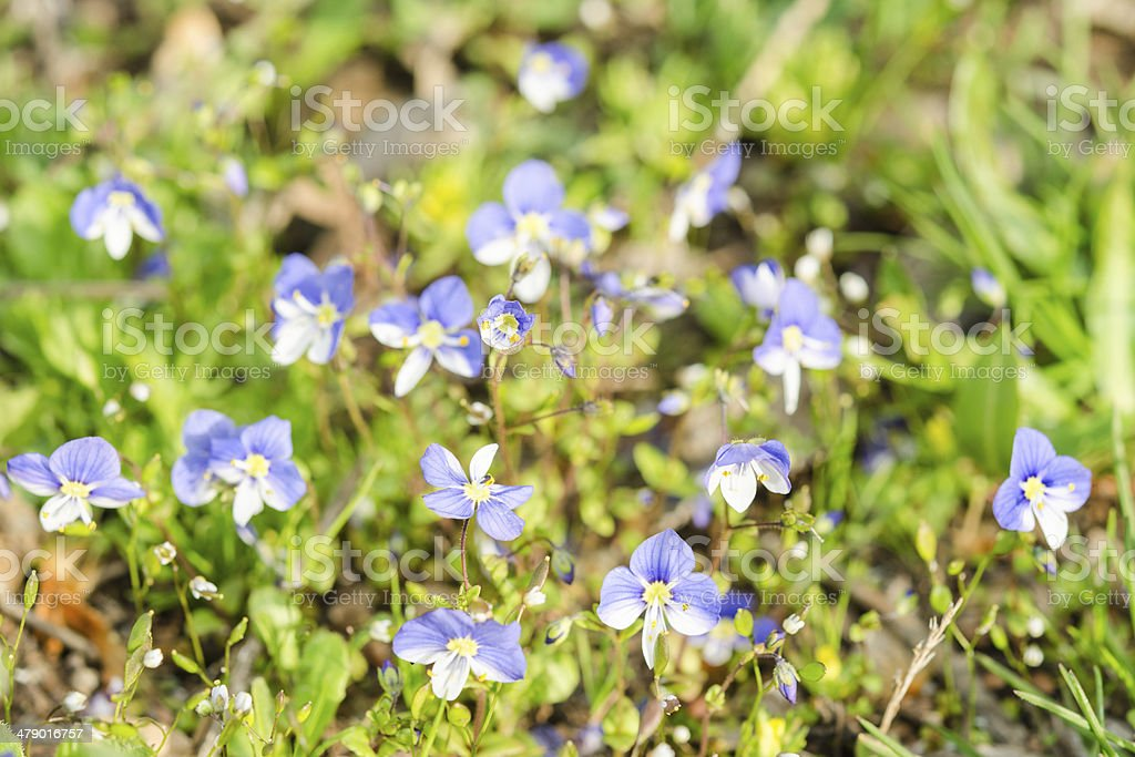 Small blue spring flowers on the sunlit meadow stock photo