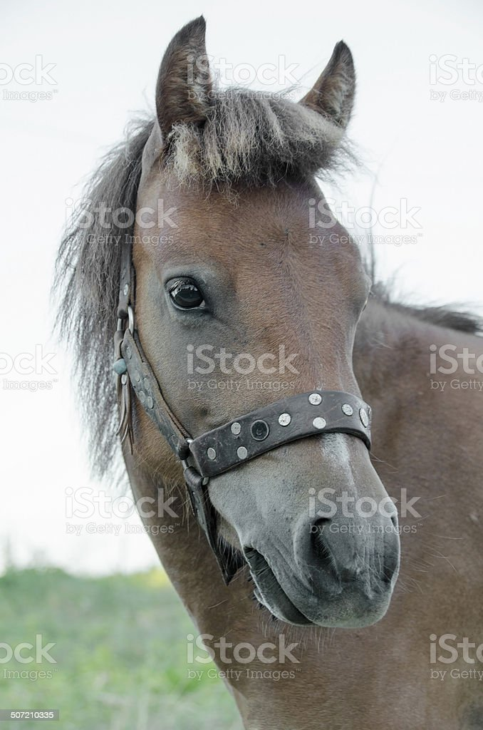Small bodied ,greek, Skyrian horse royalty-free stock photo