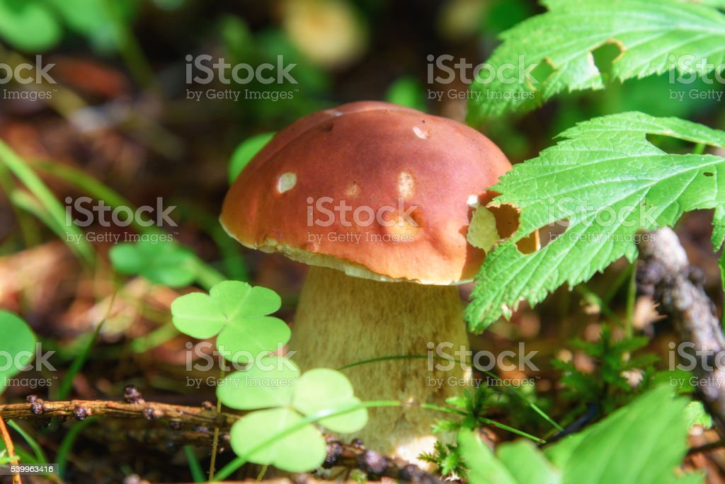 Small Boletus edulis mushroom in the forest stock photo