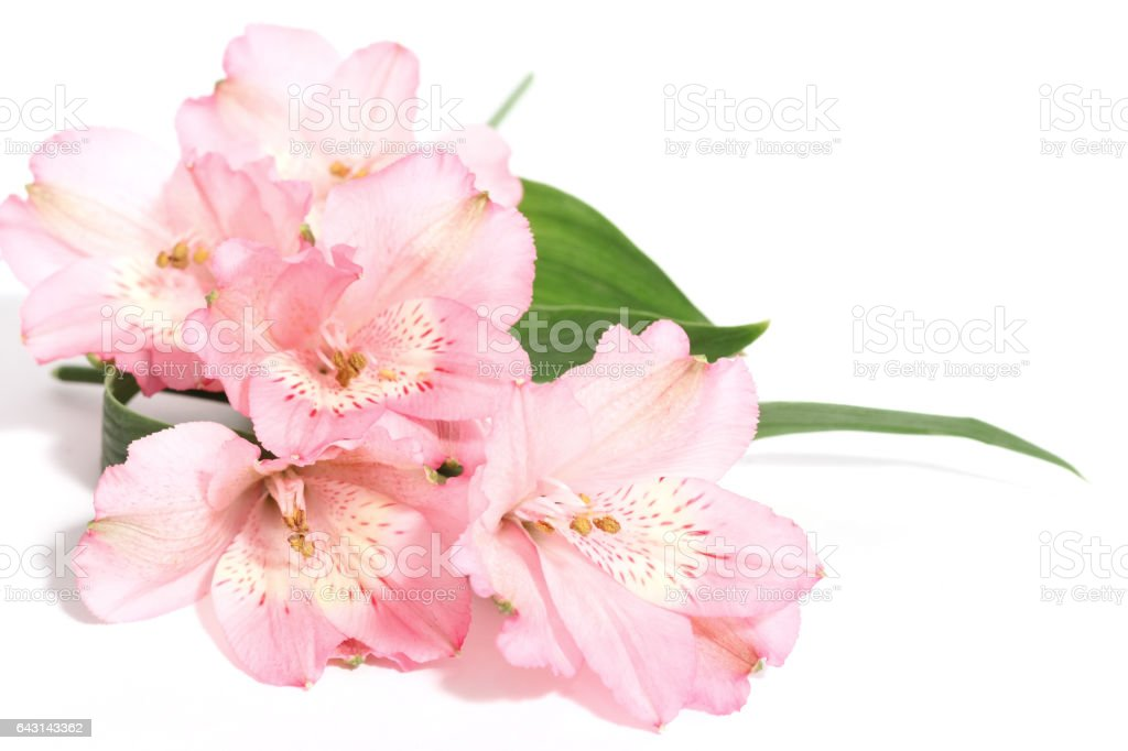 small bouquet of alstroemeria on a white background stock photo