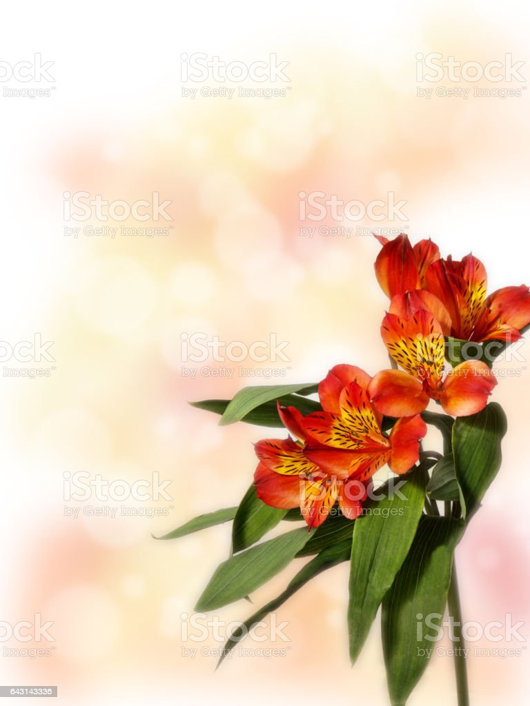 small bouquet of red alstroemeria on a colored background stock photo
