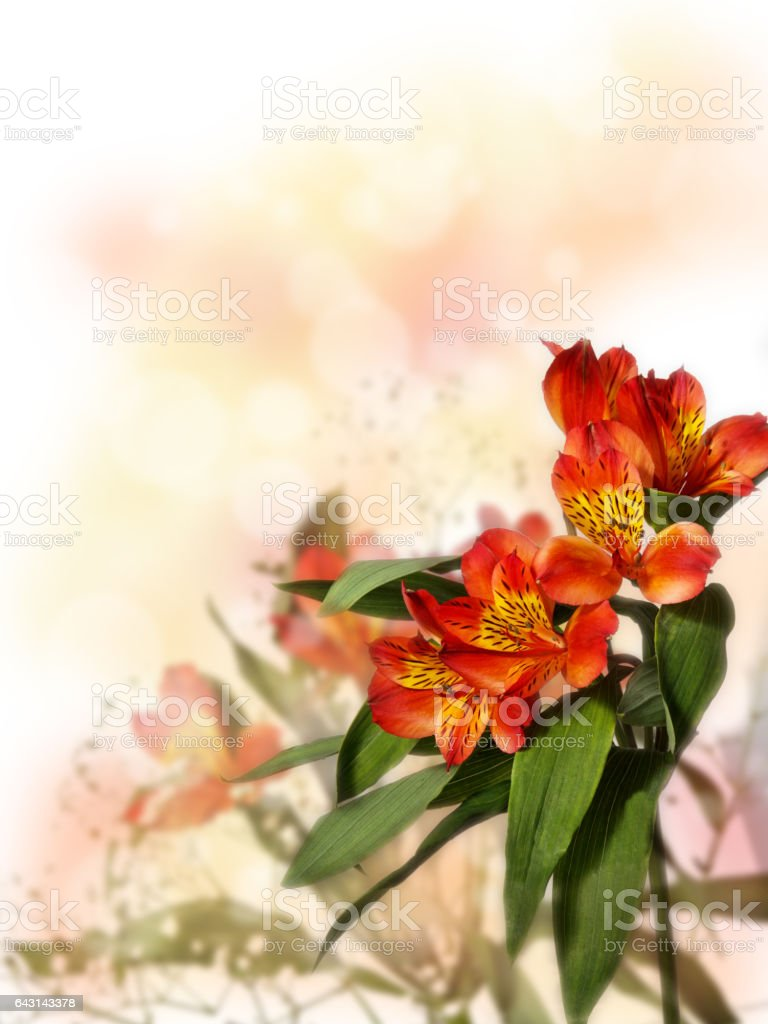 small bouquet of red alstroemeria with gypsophila on a colored background stock photo