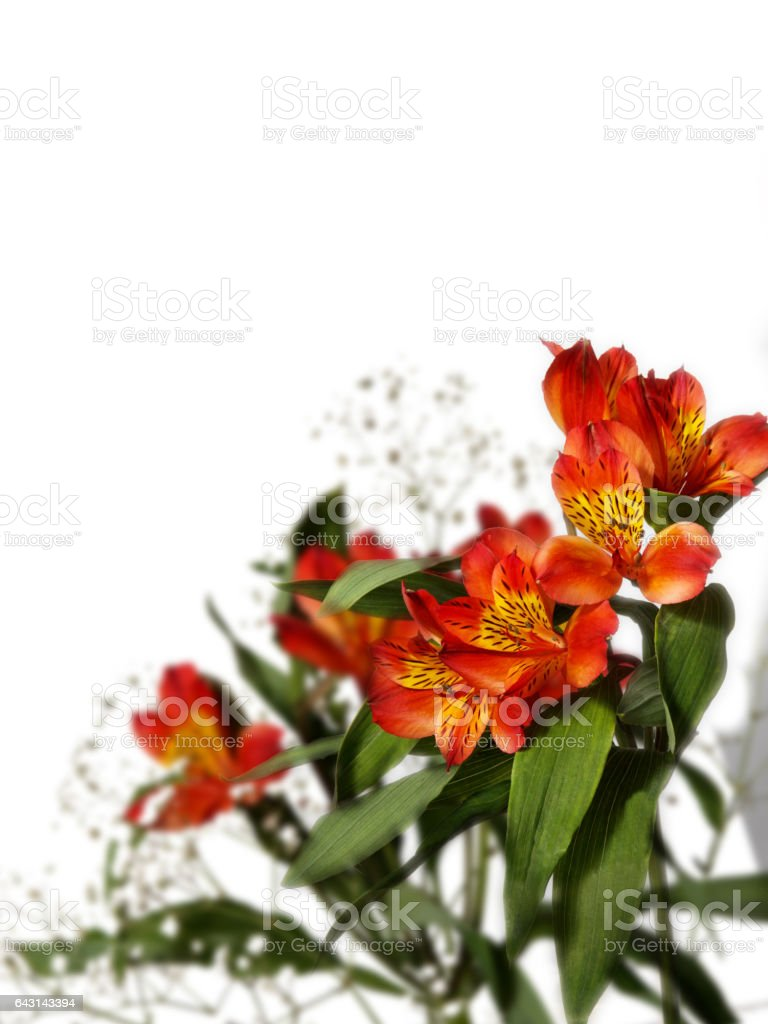 small bouquet of red alstroemeria with gypsophila on a white background stock photo