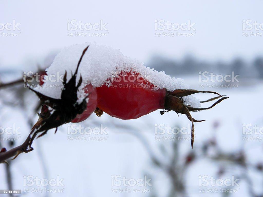 Rama de perro PEQUEÑO-rose con nieve primer plano foto de stock libre de derechos