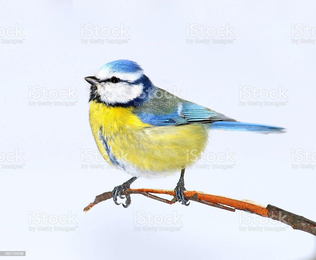 Small bright birdie royalty-free stock photo