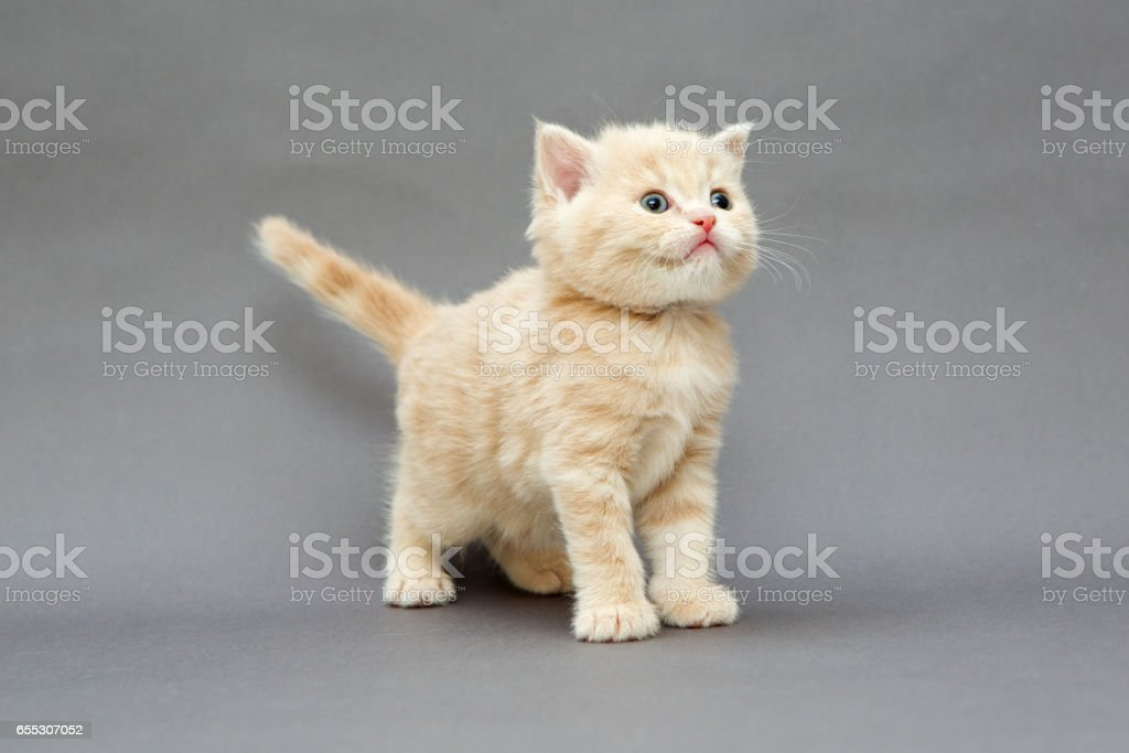 Small British kitten beige stock photo
