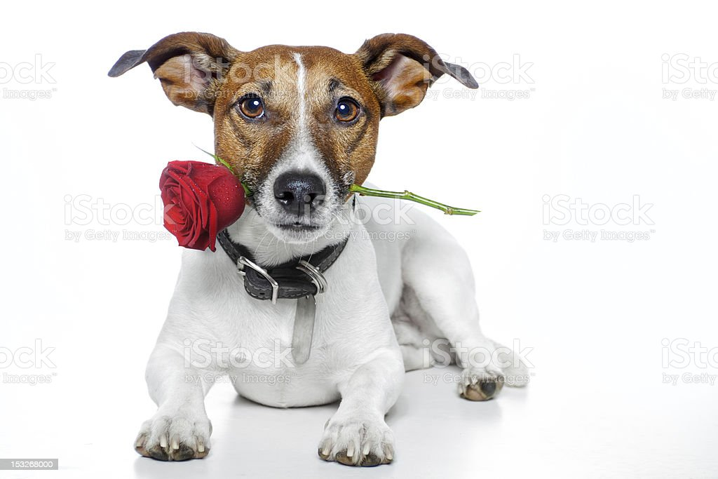 Small brown and white dog holding a red rose in his mouth royalty-free stock photo